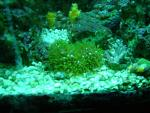 Neon Green Star Polyps....Carnation Coral...Maze Coral...n Assorted Zoas