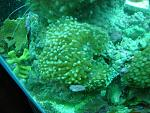 Frogspawn...Orange Monti...Hobogatos Zoas...and Pings Yellow Coral (Id anyone?)