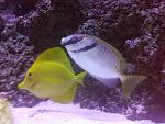 Yellow tang and scribbled rabbit
